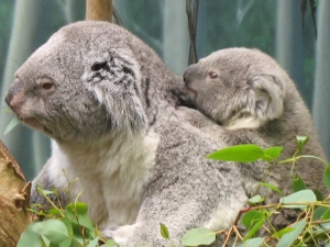 Koalas at the Cleveland Metroparks Zoo (photo by Yvonne N via Flickr, Creative Commons license)