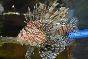 Lion fish at the Greater Cleveland Aquarium (photo by George Bannister via Flickr, Creative Commons license)